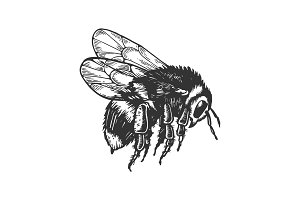 bumblebee insect animal engraving