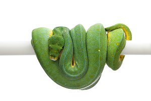 Green tree python isolated on white