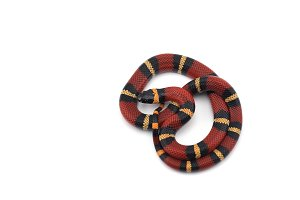 Red-black Milk snake isolated