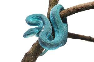Komodo island pit blue viper