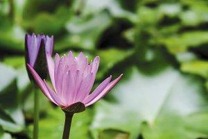 Pink lotus flowers in pond