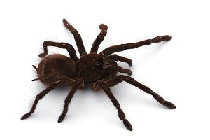 Goliath Birdeating Spider isolated