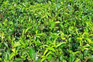 Fresh green tea bushes on Asian plan