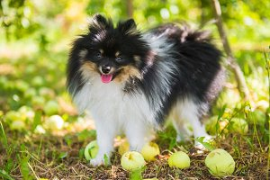 Pomeranian spitz dog on a walk under