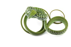 Asian vine snake isolated on white
