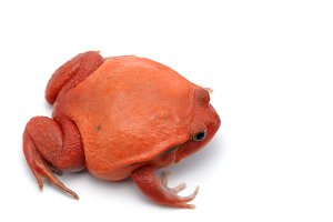 Red tomato frog isolated on white