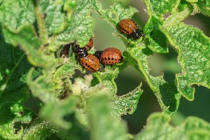 Larvae of Colorado potato beetle