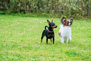 Miniature pinscher and papillon