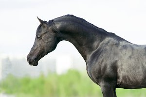 Black arabian stallion