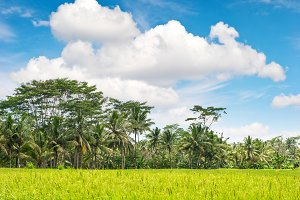 Tropical landscape rice filed Bali