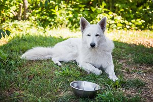 White swiss shepherd dog with a bowl