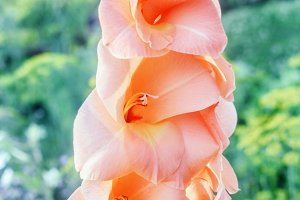 Gladiolus peach color