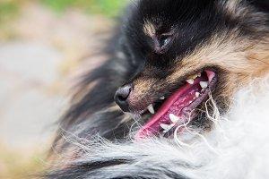 Funny fluffy pomeranian dog smile