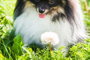 Funny fluffy Pomeranian dog and
