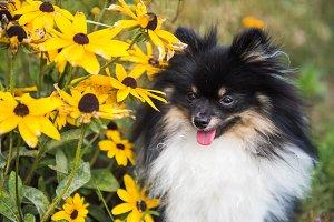 Funny fluffy Pomeranian dog and