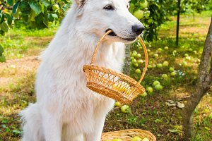 Shepherd dog is with apples in the