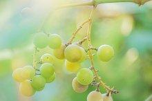 White grapes at vineyard