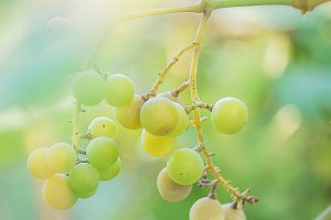 White grapes at vineyard