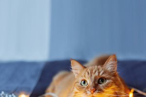 Cute ginger cat lying in bed with sh