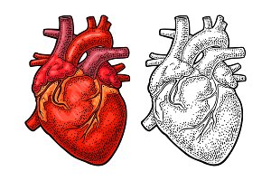 Human anatomy heart. Vector color