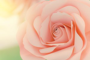 beautiful of sweet color pink roses