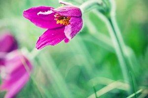 Spring flower. Anemone patens.