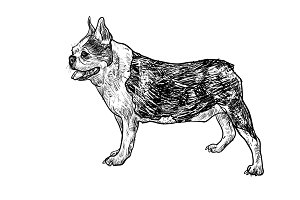 Drawing side of french bulldog
