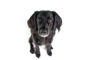 Black Lab Mix isolated on white