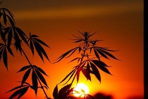Marijuana bush, cannabis plants befo