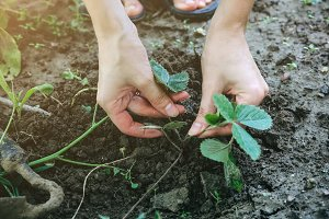 Woman is planting strawberries