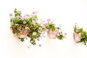 Pot of pink geraniums