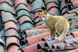 cat walking on the roof