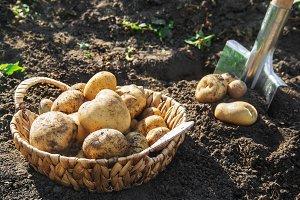 organic homemade vegetables harvest