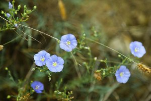 Blue flax flower with buds on green
