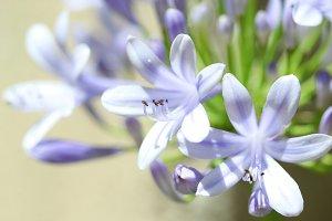 Violet Agapanthus flowers