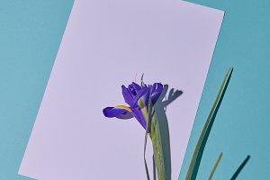 Purple iris flower on a white copy