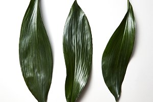Tropical evergreen leaves three
