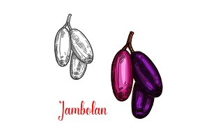 Jambolan or java plum fruit sketch
