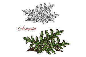 Arugula plant sketch