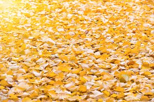 Autumn orange fallen leaves