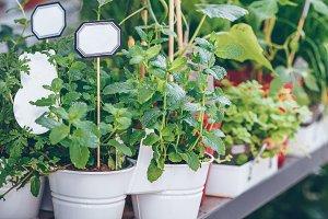 Homegrown herbs seedling pots