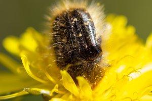 Insect eat pollen in dandelion.