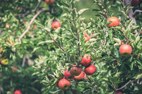 Stock Photos: Dvoevnore photos - Apple garden full of riped red fruit