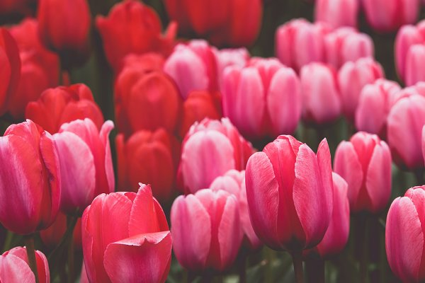 Stock Photos: Dvoevnore photos - Multicolored tulips field in the Net