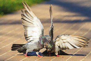 two pigeons battling wings on the