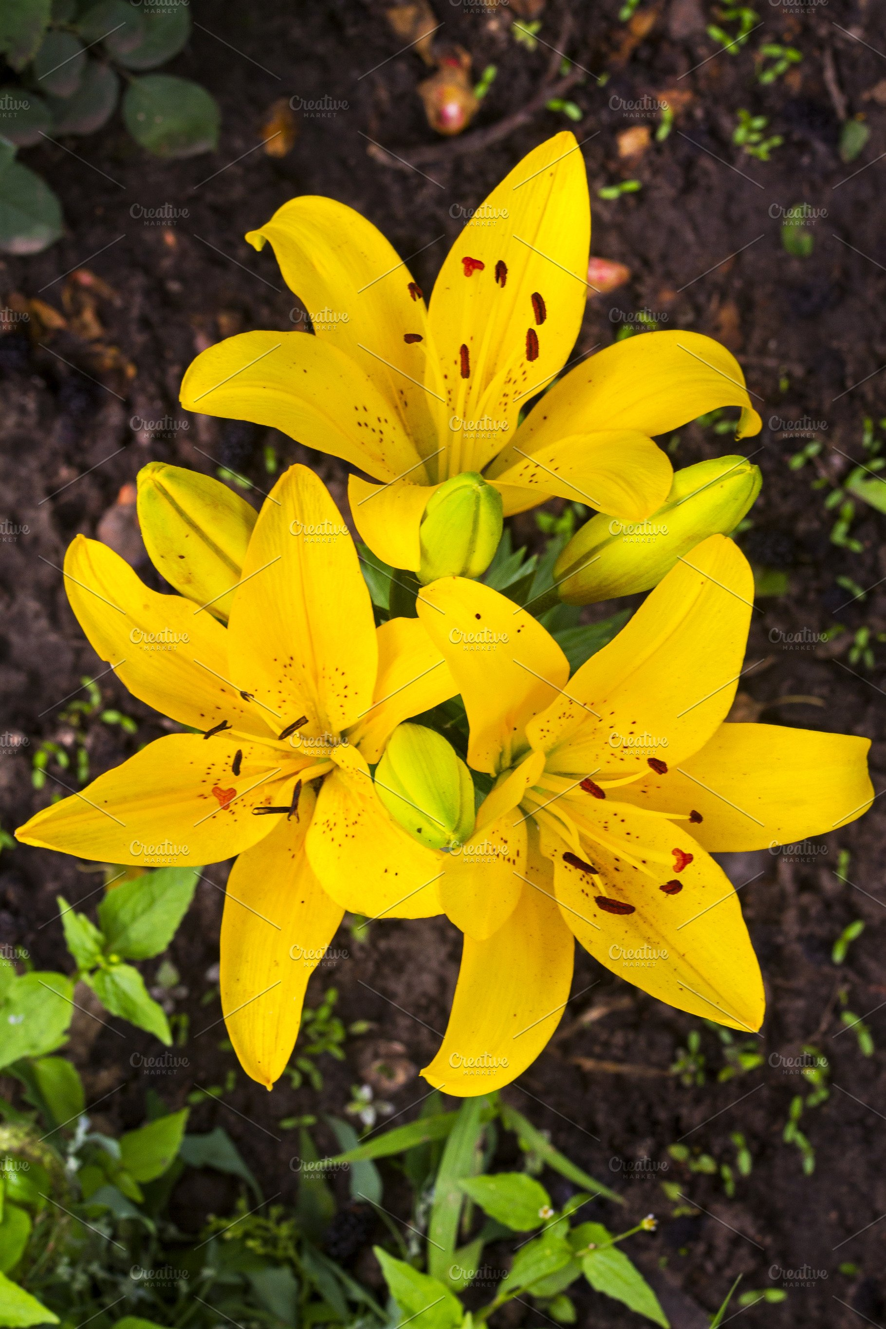 Yellow Lilies Summer Flowers High Quality Nature Stock Photos