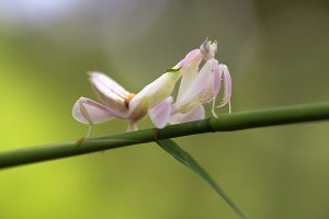mantis orchid on a tree branch