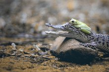 friendship of crocodiles and frogs