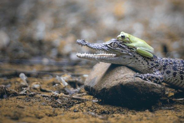 Animal Stock Photos: roni kurniawan - friendship of crocodiles and frogs