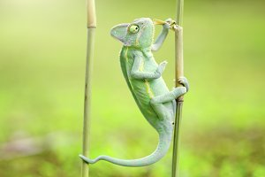 chameleon on a bamboo branch